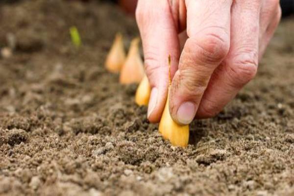 Снится сажать лук в землю 495