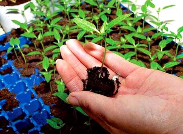 Температурный режим для выращивания перца