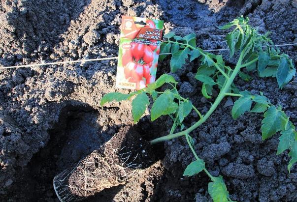Когда высаживать рассаду в открытый грунт?