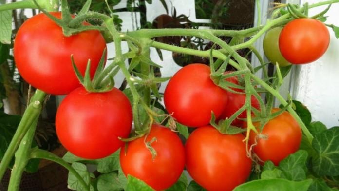 Можно ли сажать помидоры после помидор?