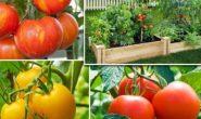 Что сажать после помидор? После чего сажать помидоры?