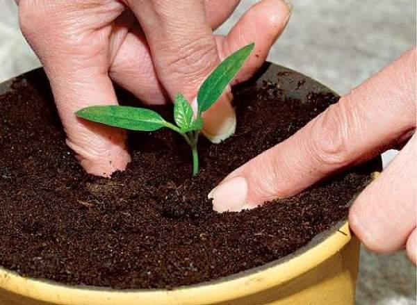 Как сажать рассаду перца