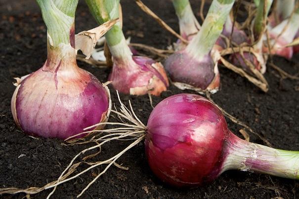 Можно ли сажать лук после лука?