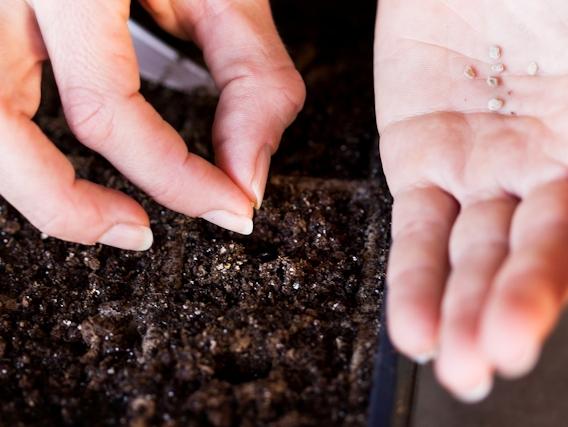 Сроки посева семян для помидор разных сроков созревания