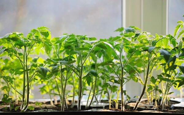 Выращивание рассады помидоров по всем правилам