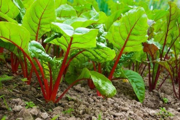 Какая почва и условия для выращивания нужны свекле?