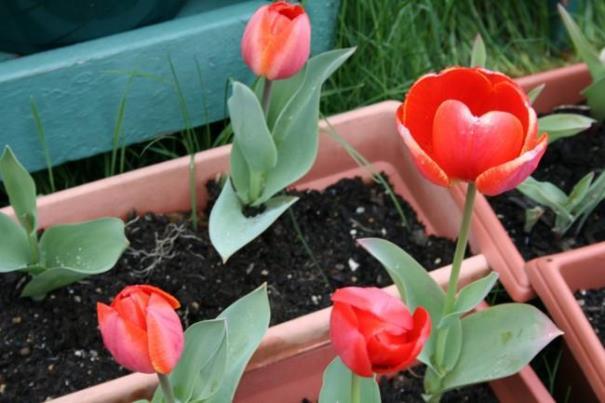 Когда посадить тюльпаны на выгонку, чтобы зацвели к 8 марта