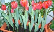 Когда посадить тюльпаны к 8 марта в домашних условиях, в теплице Выгонка тюльпанов