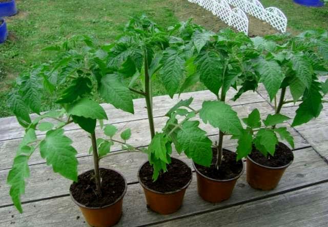 Закаливание помидорной рассады