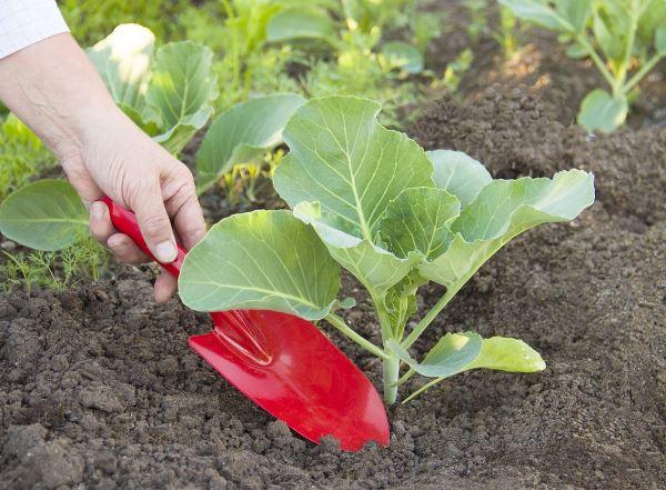 Можно ли сажать капусту после капусты?