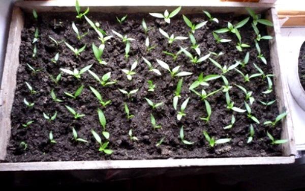 Как правильно посадить сладкий перец на рассаду