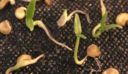 Как подготовить семена перца к посеву на рассаду в домашних условиях Как правильно посадить