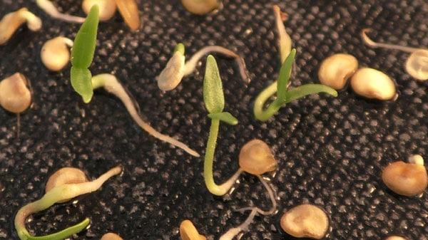 Пошаговая инструкция по подготовке семян