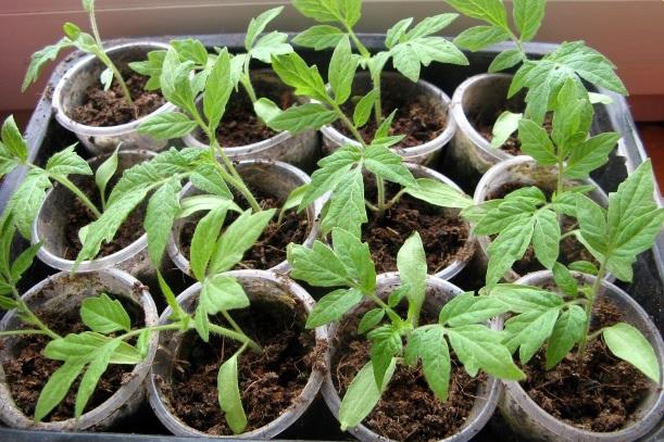 Условия для выращивания рассады томатов дома