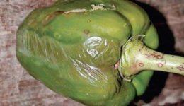 Болезни и вредители болгарского перца: лечение и борьба с ними