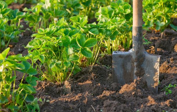 после чего можно посадить чеснок