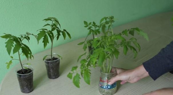 укоренение макушек помидор