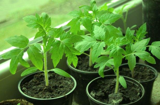 Условия выращивания и уход за рассадой