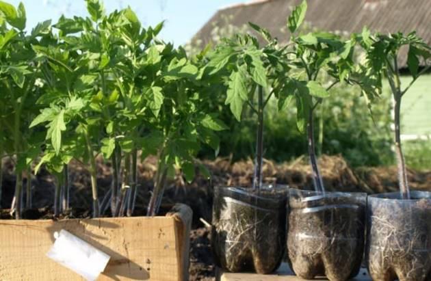 Как подкормить рассаду помидоров, чтобы были толстенькие