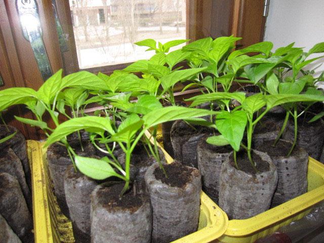 Выращивание без пикировки