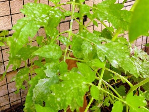 Основные болезни рассады помидоров