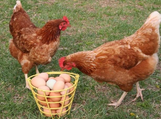 Сравнение яйценоскости пород