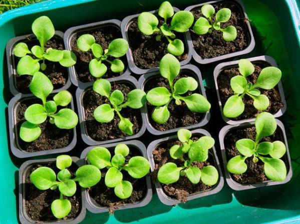 Чем поливать рассаду петунии, чтобы лучше росла