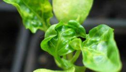 Почему у рассады перца скручиваются листья, почему, что делать