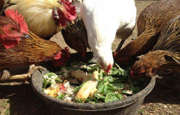 Как повысить яйценоскость кур при помощи кормов