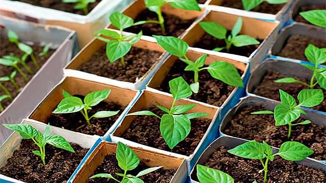 Для чего нужны подкормки рассаде перца