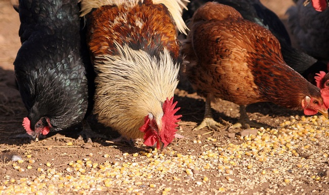 Правильное питание – залог высокой яйценоскости