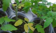 Почему желтеет рассада помидор на подоконнике, что делать