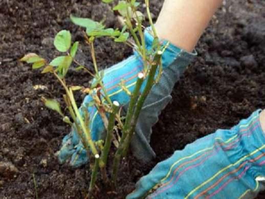 Когда укорененную розу можно высаживать в грунт