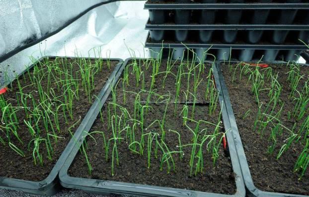 Как правильно посадить на рассаду