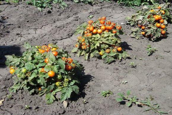 Условия для выращивания помидоров в открытом грунте