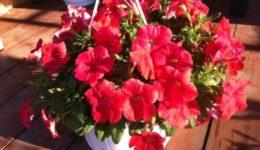 Выращивание ампельной петунии из семян: сорта с фото, уход, формирование