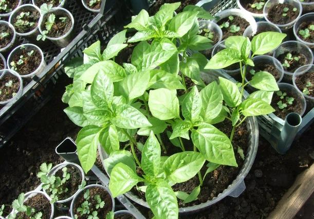 Как подкормить рассаду перцев, чтобы росла крепкой
