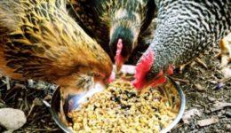 Чем кормить кур несушек в домашних условиях, чтобы они хорошо неслись