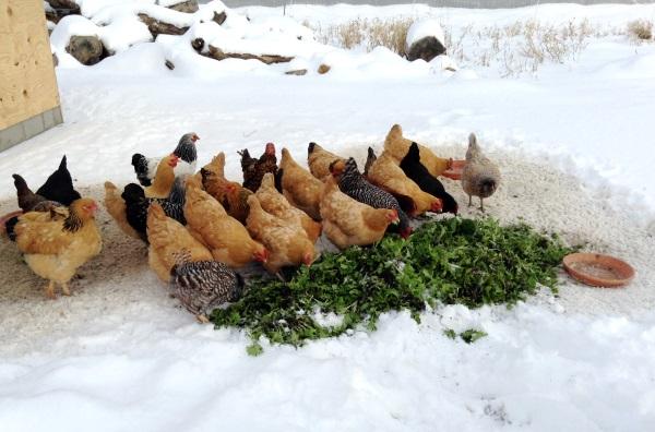 Технология заготовления дикорастущих кормов