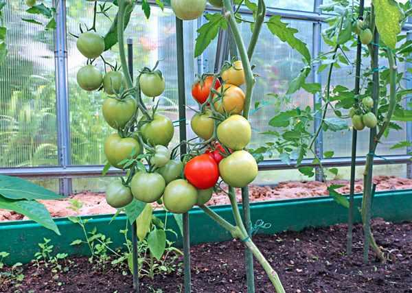 Плюсы и минусы выращивания помидор в теплице