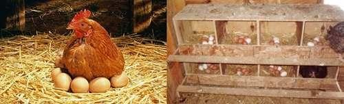 Причины снижения яйценоскости