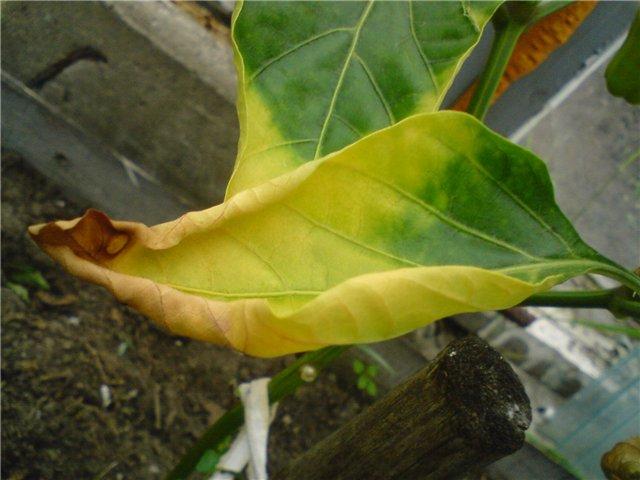 Почему желтеют листья у рассады перца