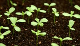 Астра выращивание из семян, когда сажать на рассаду