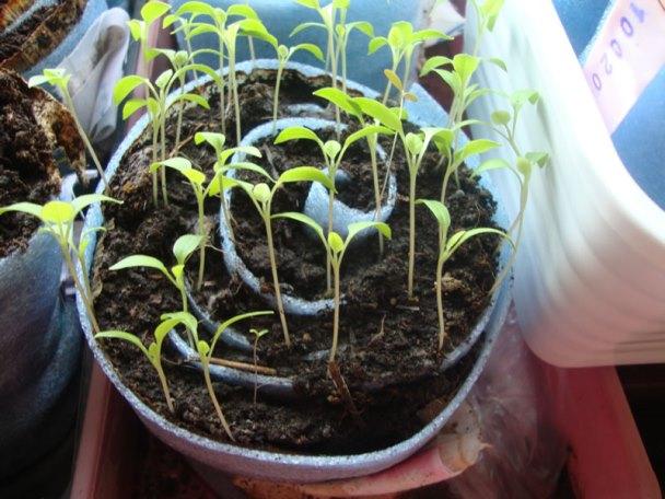 Выращивание рассады в улитках и пеленках