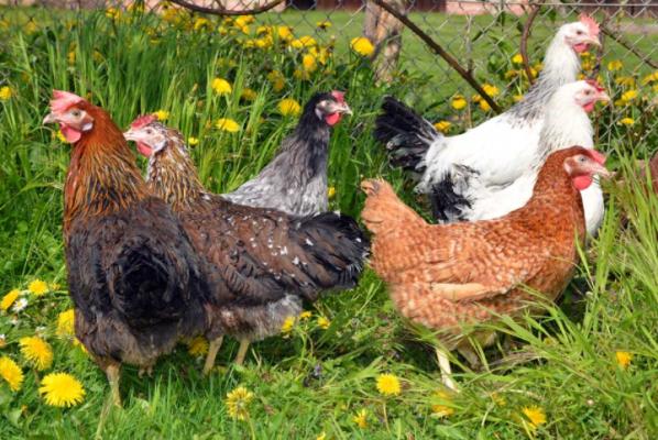 Характеристика и продуктивность кур породы Доминант