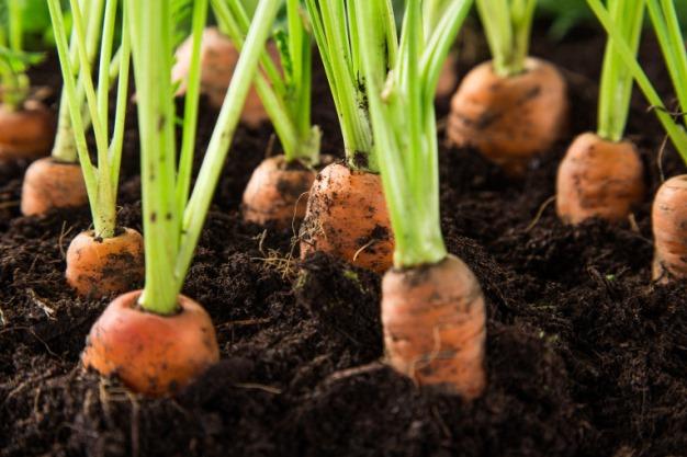 Основные ошибки при посадке моркови