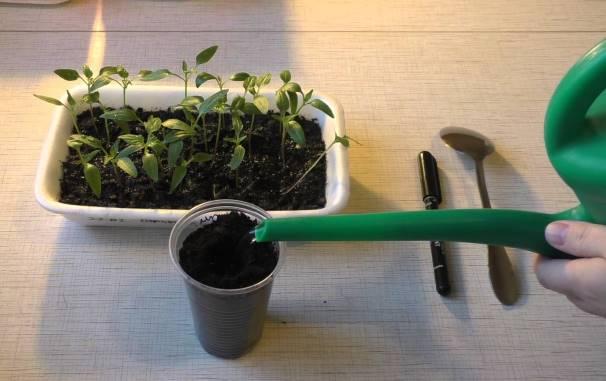 Как правильно пикировать рассаду перца пошагово