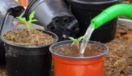 Как поливать рассаду помидоров на подоконнике