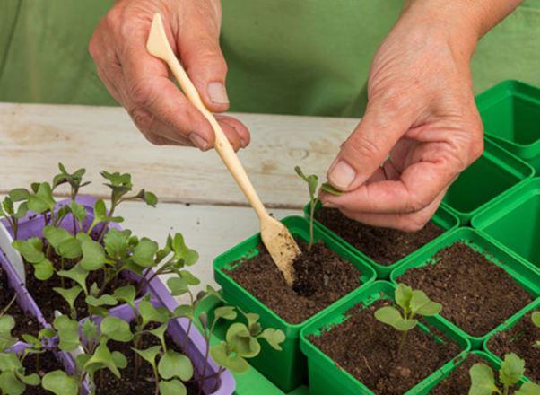 Сроки посева, когда сажать по срокам созревания капусты