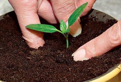 Как пикировать перец на рассаду в домашних условиях